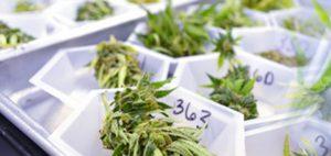 medyczna-marihuana-marihuana-w-laboratorium-konopia-leczy-medyczna-marihuana-02921