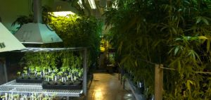 medycznna-marihuana-rekreacyjna-marihuana-wplyw-na-uprawa-zdjecia-cbd-thc-uprawa-nida-nida