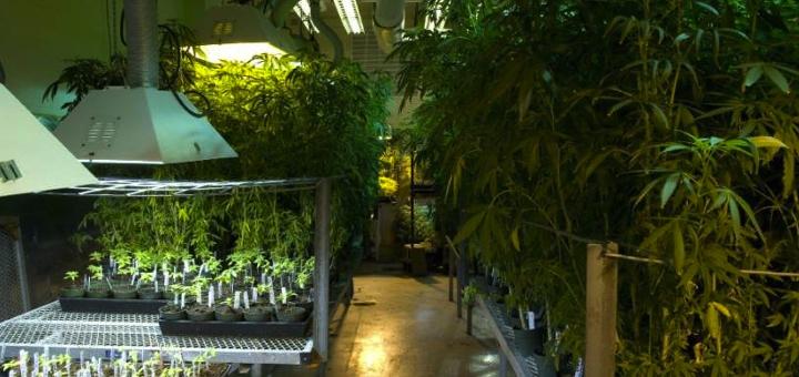 Ciężkie stosowanie marihuany u nastolatków może zakończyć ich życie przed sześćdziesiątką, TanieSianie, Tanie Sianie