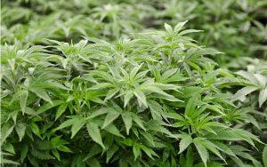 zielona-roslina-zielonej-marihuany-medyczna-uprawa-marihuany-tak-wyglada-uprawa-marihuany