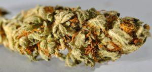 suszona-marihuana-z-najlepszych-nasion-marihuany-nasiona-marihuany-marihuana-nasiona-konopia-uprawa-konopi-uprawa-marihuany-legalna-marihuana