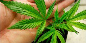 Naukowcy odkryli optymalną dawkę marihuany, TanieSianie, Tanie Sianie