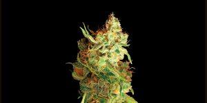 Sprzedaż marihuany na Alasce spadła w listopadzie, TanieSianie, Tanie Sianie