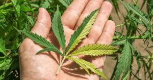 Ile marihuany można kupić w Kolorado?, TanieSianie, Tanie Sianie