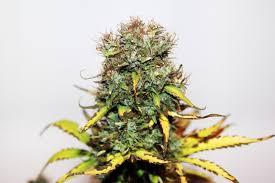 77% Amerykanów popiera medyczną marihuanę, TanieSianie, Tanie Sianie