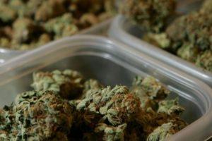 Ekspert od marihuany nigdy jej nie palił, TanieSianie, Tanie Sianie