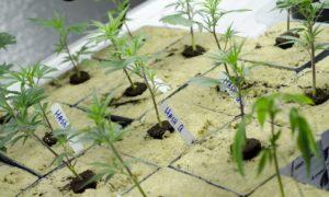 25 procent pacjentów z rakiem stosuje marihuanę, TanieSianie, Tanie Sianie