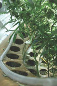 Medyczna marihuana w odniesieniu do jaskry, TanieSianie, Tanie Sianie