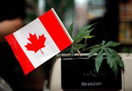 Zasady legalnej marihuany w Kanadzie, TanieSianie, Tanie Sianie