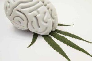 Wpływ marihuany na mózg, TanieSianie, Tanie Sianie
