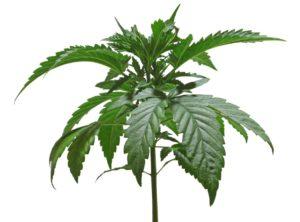 Badania: Marihuana i zapalenie oskrzeli, TanieSianie, Tanie Sianie
