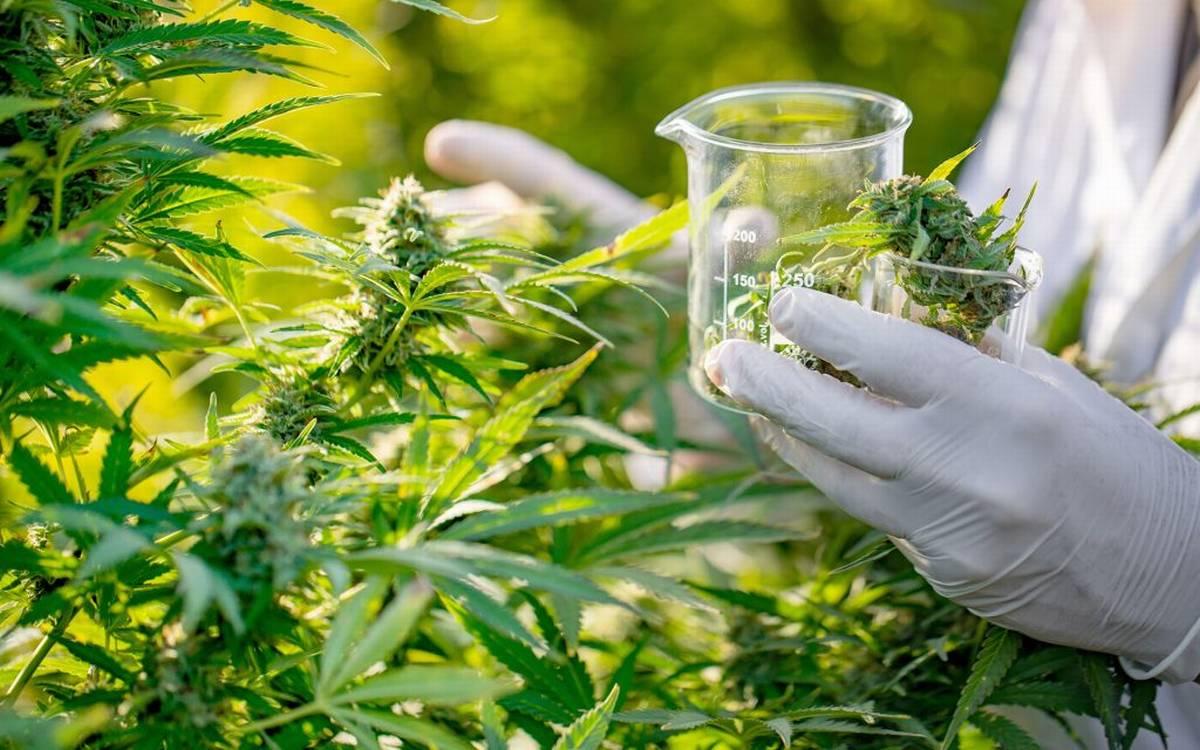TOP Odmiany Marihuany na Sen, TanieSianie, Tanie Sianie