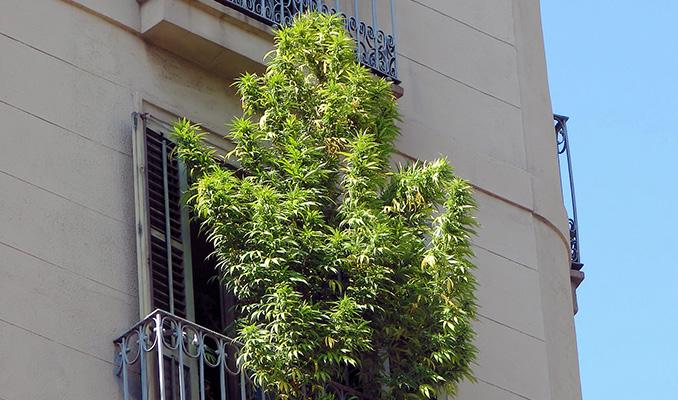 Uprawa marihuany na balkonie, TanieSianie, Tanie Sianie