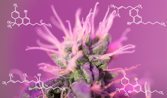 Marihuana w leczeniu stanów zapalnych, TanieSianie, Tanie Sianie