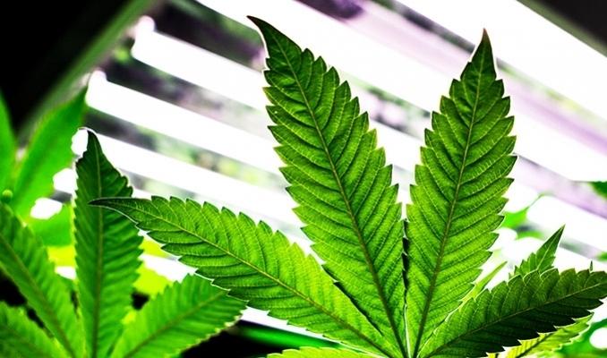 Wegetatywna faza roślin marihuany, TanieSianie, Tanie Sianie