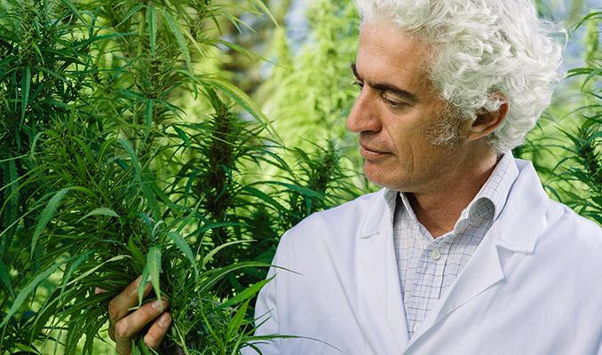 Brak związku między stosowaniem marihuany a psychozą, TanieSianie, Tanie Sianie