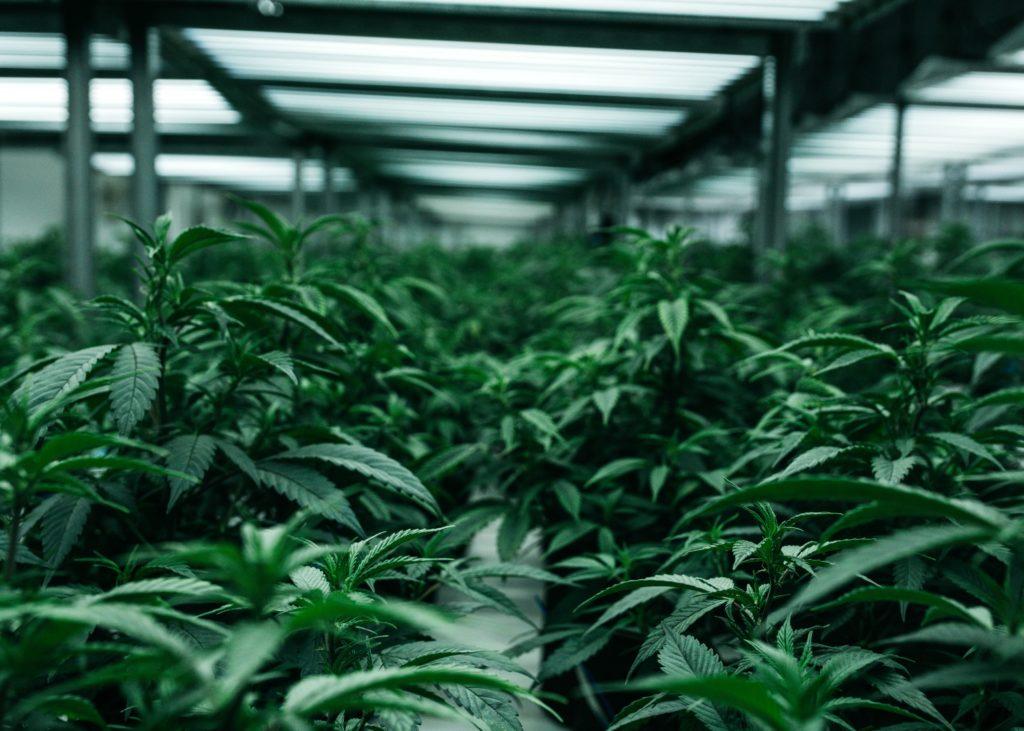Czy marihuana może pomóc w leczeniu autyzmu?, TanieSianie, Tanie Sianie