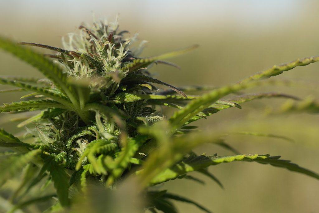 Mity i Realia Dotyczące Ryzyka Stosowania Cannabis, TanieSianie, Tanie Sianie