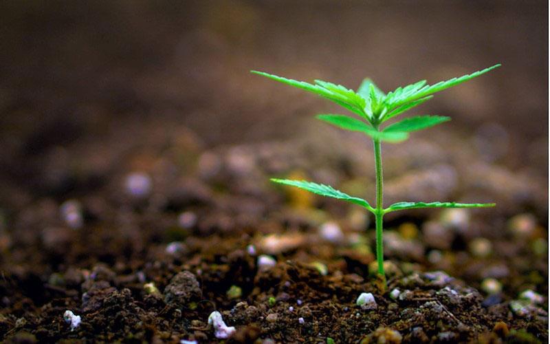 Legalna marihuana finansuje program odszkodowań, TanieSianie, Tanie Sianie