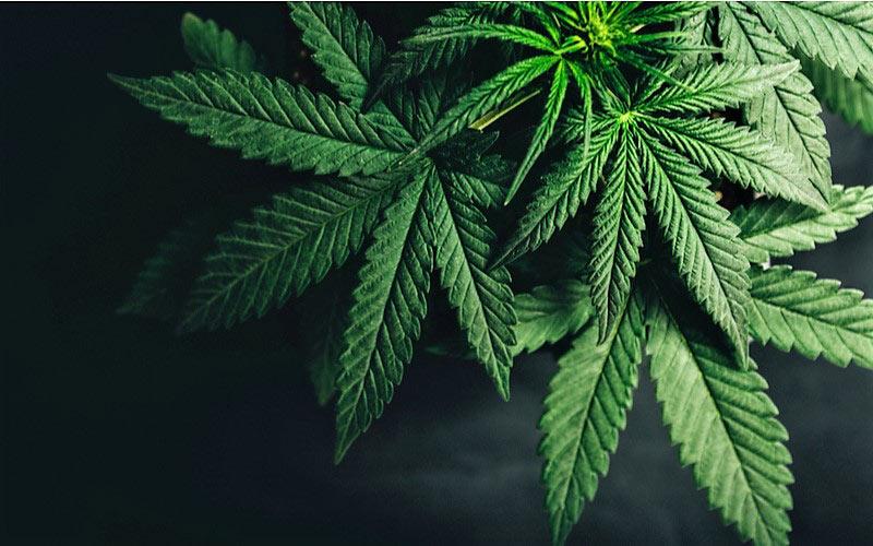 CBD Obiecującą Terapią w Uzależnieniu od Kokainy, TanieSianie, Tanie Sianie