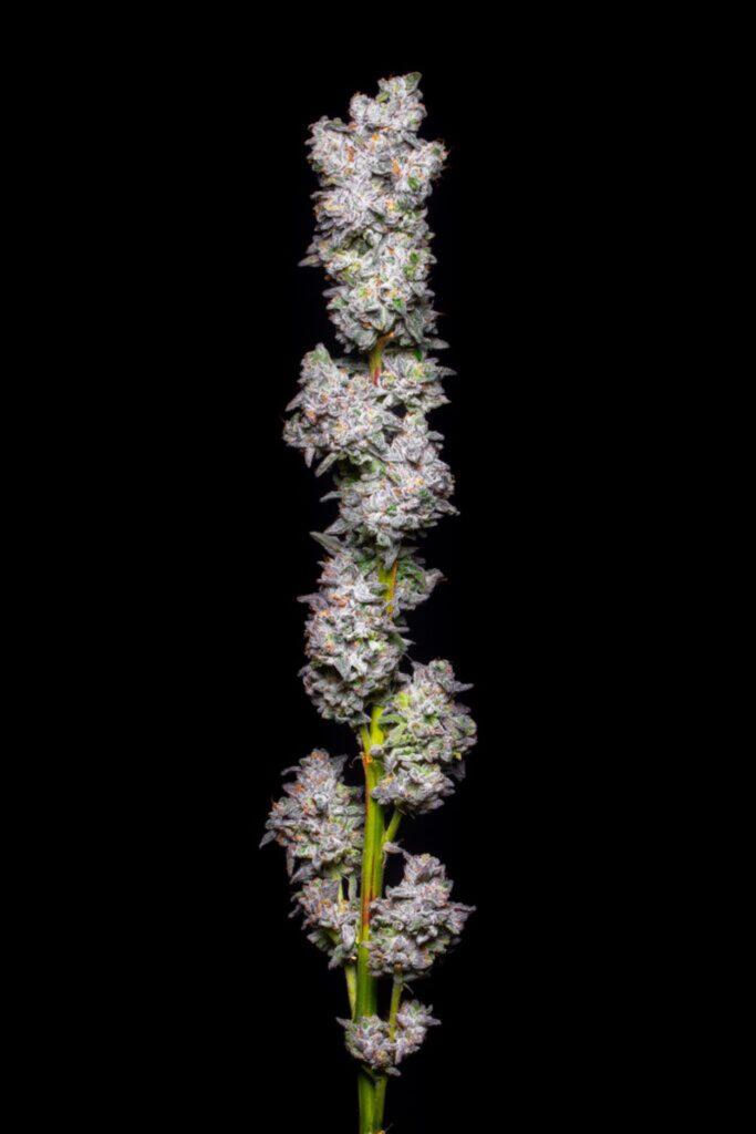 Jak Rozpoznać Pleśń na Marihuanie, TanieSianie, Tanie Sianie