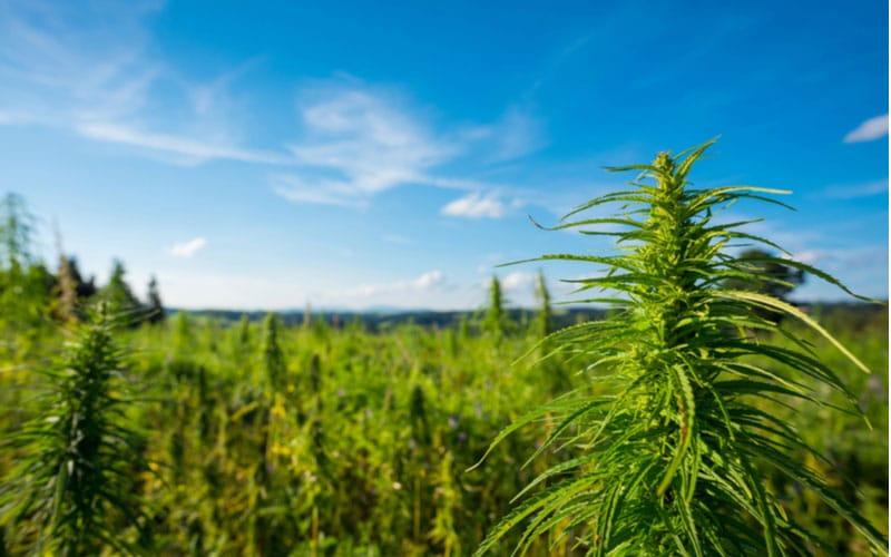 Jaka Jest Różnica Między Konopiami i Cannabis?, TanieSianie, Tanie Sianie