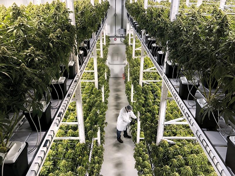 Uprawa Marihuany przy Użyciu Nawozów Organicznych, TanieSianie, Tanie Sianie