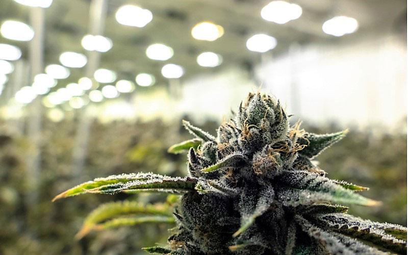 Wykorzystanie Składników Cannabis w Szczepionce na COVID 19, TanieSianie, Tanie Sianie